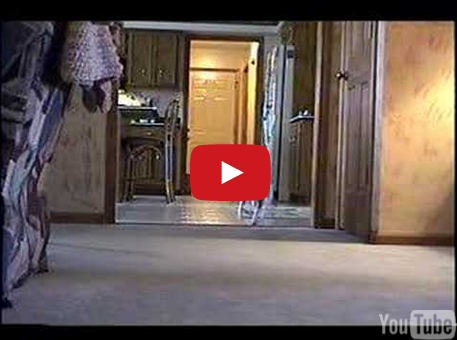 Cute - Jack Russell Terrier Home Alone