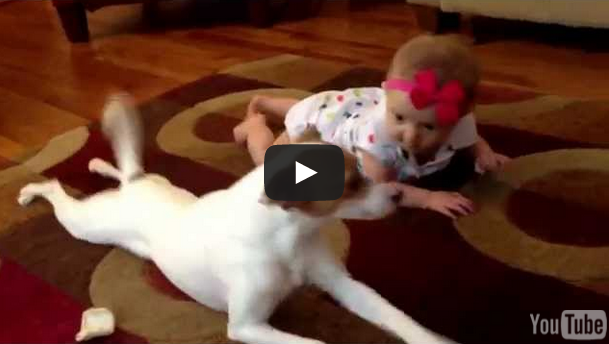 Cute Jack Russell Terrier Shows Adorable Baby How To Crawl