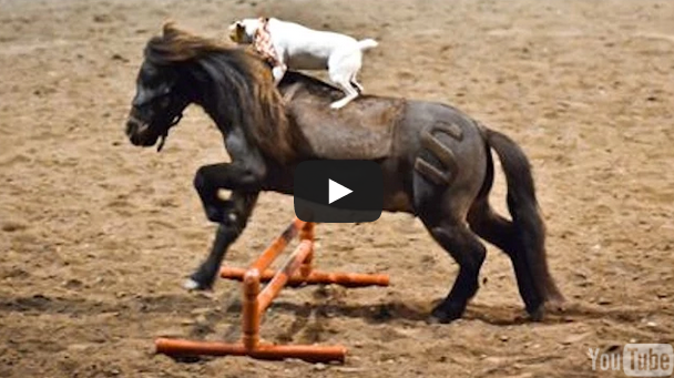 Have You Ever Seen A Jack Russell Ride A Horse
