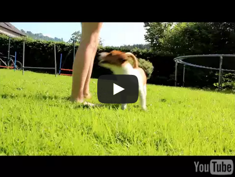 Impressive Jack Russell Terrier Dog Tricks