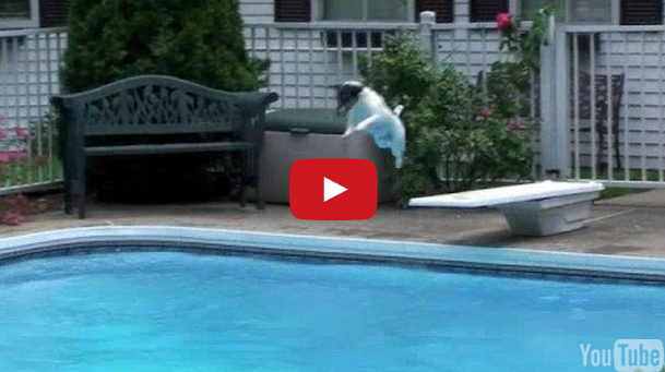 Jack Russell Terrier Enjoys Jumping Off Diving Board Into The Pool