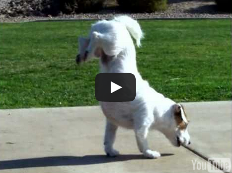 Jack Russell Terrier Walking Hand Stand Dog Jesse Performs Amazing Dog Tricks