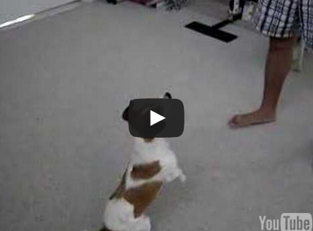 Mickey The Cute Jack Russell Terrier Doing Tricks