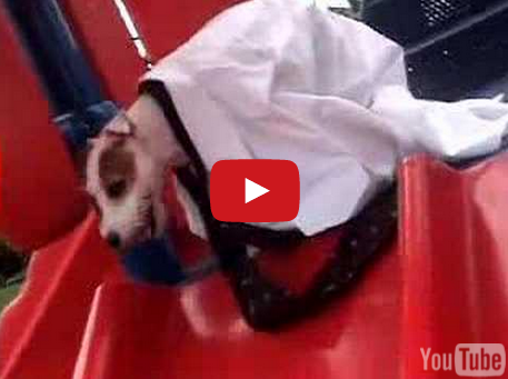Must Watch - Jack Russell Terrier Brings Sexy Back