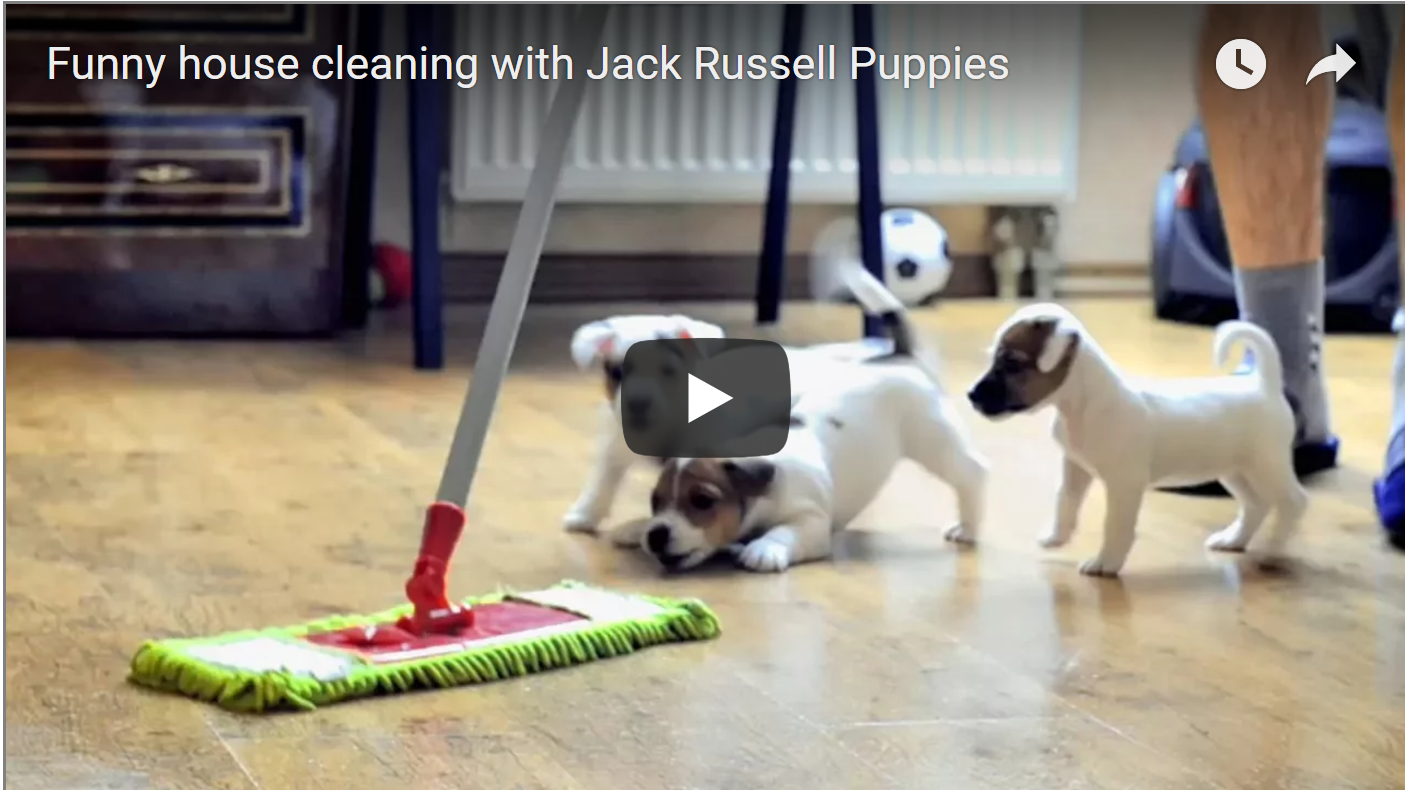 Funny House Cleaning With Jack Russell Puppies | Best Jack Russell