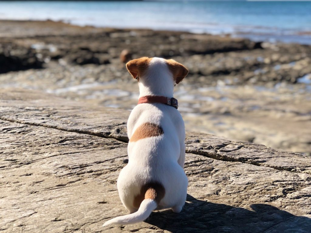 a Jack Russell Terrier sitting and looking out at the ocean