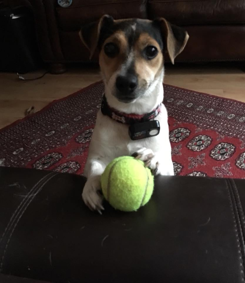 a Jack Russell Terrier standing up at a desk holding a ball.